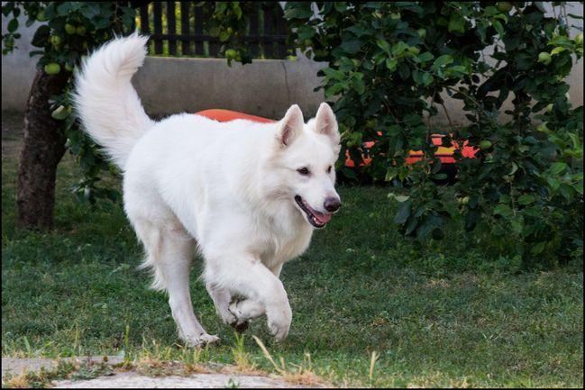Beli svajcarski ovcar (4)