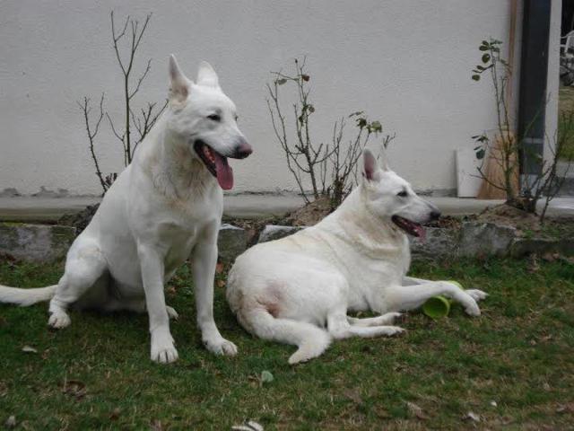 Beli svajcarski ovcar (5)