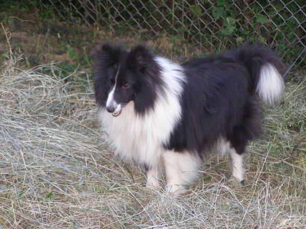 Setlandski ovcar (4)