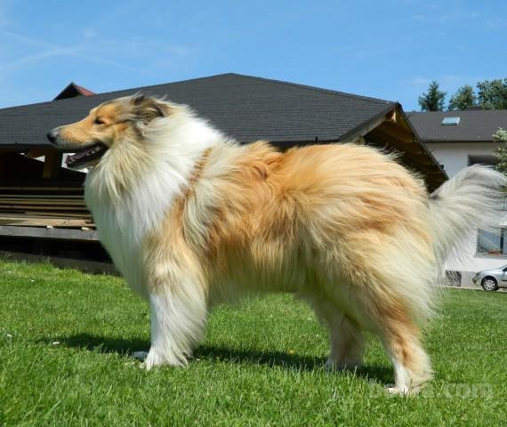 Skotski ovcar (3)