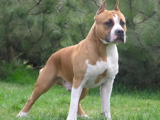 Staford je lak za dresuru i odličan ako vam treba porodični pas koji voli decu.