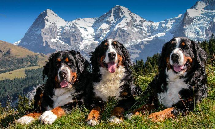 Bernski svajcarski pas (2)