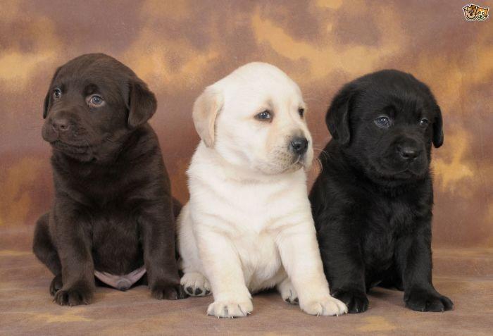 Labrador retriver (3)