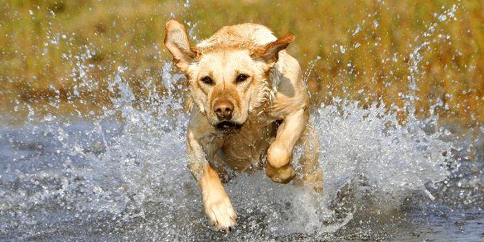 Labrador retriver (4)