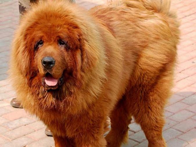 TIbetski mastif 3