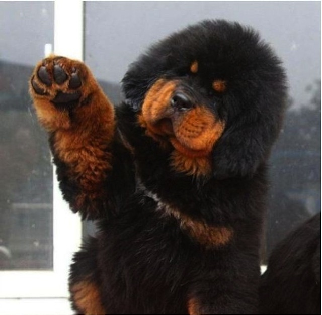 Tibetski mastif 1
