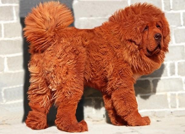 Tibetski mastif 2