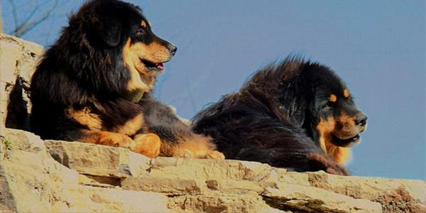 Tibetski mastif 6