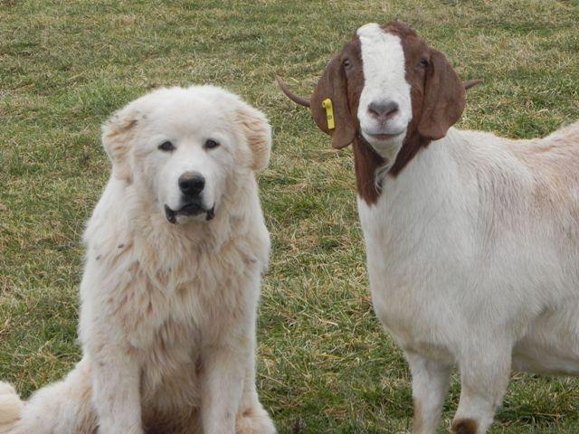 U prošlosti je korišćen kao ispomoć pri stočarstvu odnosno čuvao je stada od divljih zveri.