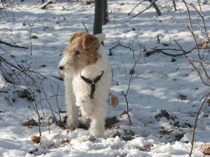 Foxterrier im Winter (mit langen Fell kurz vor dem Trimmen)