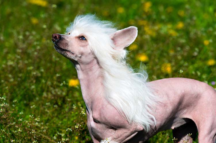 Chinese Crested Dogs were selectively bred from many other dog breeds. Learn more about these toy dogs by visiting our website.