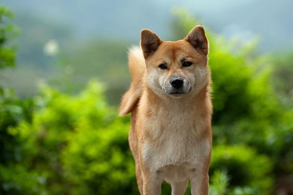 Shiba inu (4)