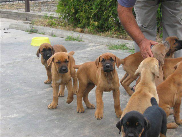 Srpski odbrambeni pas (3)