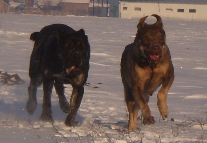 Srpski odbrambeni pas (4)