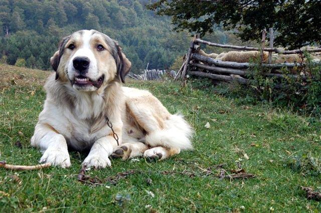 Srpski pastirski pas (3)