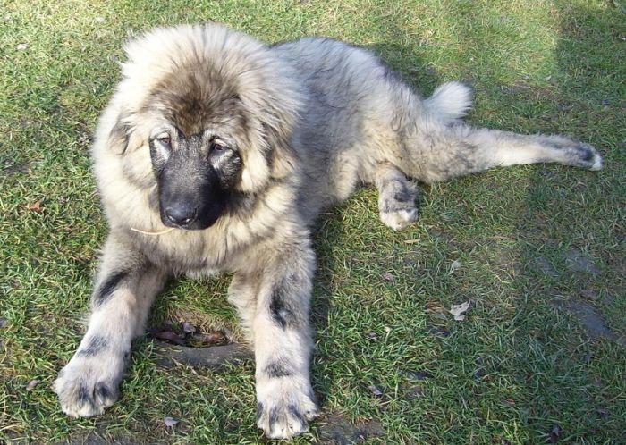 Srpski pastirski pas (4)