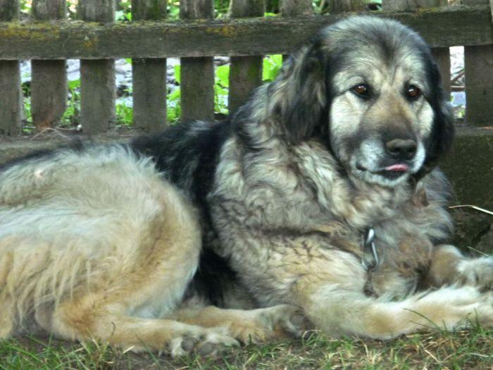 Srpski pastirski pas